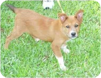 Australian Shepherd/Collie Mix Puppy for adoption in Kingwood, Texas - Little Lost Princess