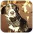 Photo 3 - Husky/Labrador Retriever Mix Dog for adoption in Whitehouse, Texas - Dominique