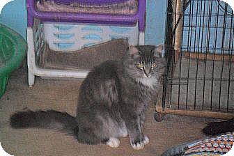 Domestic Mediumhair Cat for adoption in Anton, Texas - Fantasia