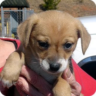 Beagle/Spaniel (Unknown Type) Mix Puppy for adoption in baltimore, Maryland - Twinkie