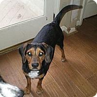Adopt A Pet :: Cofax - Apex, NC