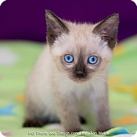 Adopt A Pet :: Blossom - Fountain Hills, AZ
