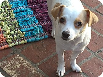 Rat Terrier/Chihuahua Mix Dog for adoption in Los Angeles, California - TWIGGY