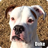 Adopt A Pet :: Duke - Encino, CA