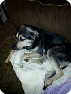 German Shepherd Dog/Hound (Unknown Type) Mix Dog for adoption in Harrison, Arkansas - Baby
