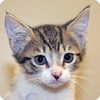 Adopt A Pet :: Stella - Wildomar, CA