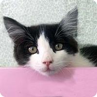 Adopt A Pet :: Benjamin - Tiburon, CA