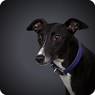 Greyhound Dog for adoption in Woodinville, Washington - Frida