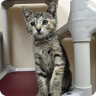 Domestic Shorthair Kitten for adoption in Wheaton, Illinois - Eva