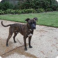 Adopt A Pet :: Pinkie - Covington, TN