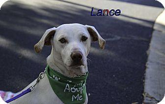 Labrador Retriever/Hound (Unknown Type) Mix Puppy for adoption in Alpharetta, Georgia - Lance