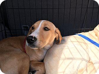 Labrador Retriever Mix Puppy for adoption in Woodstock, Georgia - Callie