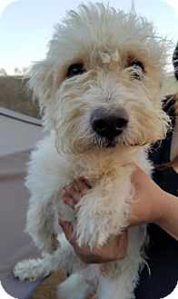 Westie, West Highland White Terrier Mix Dog for adoption in Apple Valley, California - Loofa