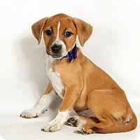 Adopt A Pet :: Nola Boxer Mix - St. Louis, MO
