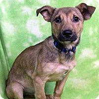 Adopt A Pet :: CHARLIE - Westminster, CO