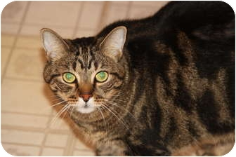 Domestic Shorthair Cat for adoption in Berkeley Hts, New Jersey - Geeter