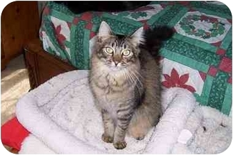 Maine Coon Cat for adoption in Simms, Texas - Henry