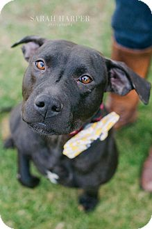 Labrador Retriever/American Staffordshire Terrier Mix Dog for adoption in Reisterstown, Maryland - Hillary