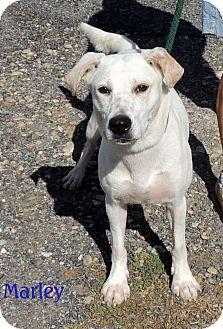 Catahoula Leopard Dog/Labrador Retriever Mix Dog for adoption in ...