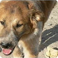 Australian Shepherd/Labrador Retriever Mix Dog for adoption in Thatcher, Arizona - Cody