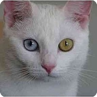 Adopt A Pet :: Ziva - Reston, VA