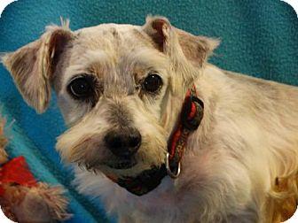 Standard Schnauzer/Poodle (Miniature) Mix Dog for adoption in Vacaville, California - Skipper