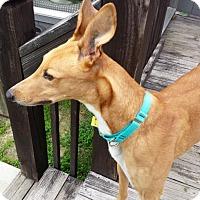 Adopt A Pet :: Blitz - Kansas City, MO