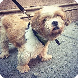 shih tzu rescue nyc alvin adopted dog new york ny shih tzu 1533