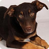 Adopt A Pet :: Chester Lab Aussie - St. Louis, MO