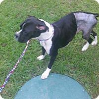 Adopt A Pet :: Lady - Jacksonville, AL