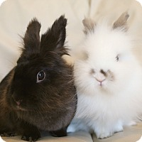 Lionhead Mix for adoption in Los Angeles, California - Kicky & Chip