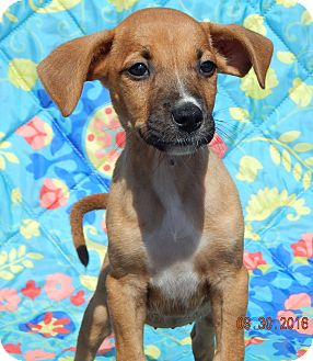 Boxer/Retriever (Unknown Type) Mix Puppy for adoption in West Sand Lake, New York - Tacoma (6 lb) Video!