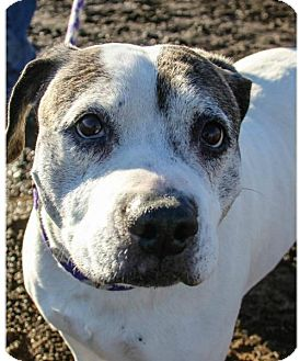 Pit Bull Terrier Mix Dog for adoption in Yreka, California - Lucy