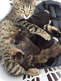 Domestic Shorthair Cat for adoption in St. Louis, Missouri - Essay