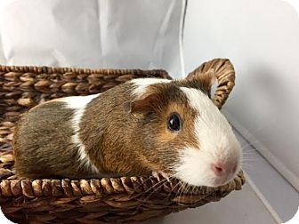 Guinea Pig for adoption in Grand Rapids, Michigan - Tater