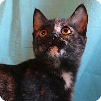 Manx Kitten for adoption in Spring Valley, New York - Mincey