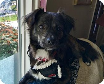Terrier (Unknown Type, Medium) Mix Dog for adoption in Livonia, Michigan - Anthony