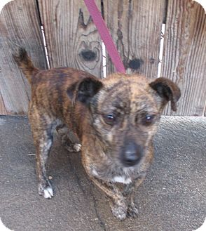 Jack Russell Terrier/Chihuahua Mix Dog for adoption in Lomita, California - Jack