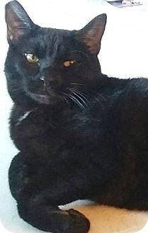 Manx Kitten for adoption in Buhl, Idaho - Ralphie