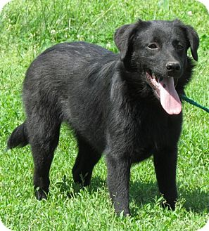 Golden Retriever/Labrador Retriever Mix Puppy for adoption in Providence, Rhode Island - Flint