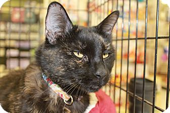 Bombay Cat for adoption in Scottsdale, Arizona - Ava- Courtesy Post
