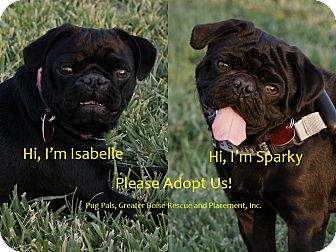Pug Puppy for adoption in Eagle, Idaho - Sparky