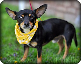 Chihuahua/Miniature Pinscher Mix Dog for adoption in Sparta, New Jersey - Astro