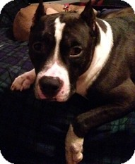Pit Bull Terrier Mix Dog for adoption in Madison, Wisconsin - Rockstar