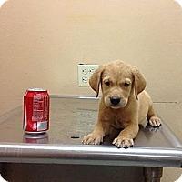 Adopt A Pet :: Abdiel - Brooklyn, NY