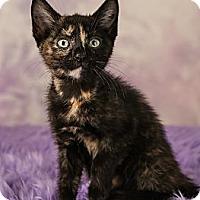 Adopt A Pet :: Acacia - Eagan, MN