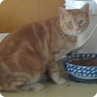 Domestic Shorthair Cat for adoption in Buchanan, Tennessee - BB