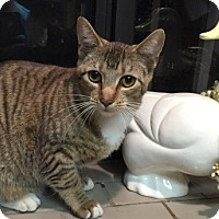 Domestic Shorthair Cat for adoption in Sacramento, California - Angel