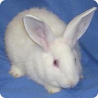 Adopt A Pet :: Blitzen - Woburn, MA