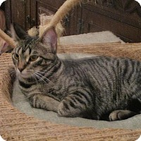 Adopt A Pet :: Tigress - St. Louis, MO